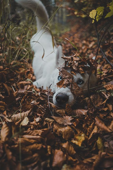 Cachorro branco brincando com folhas secas