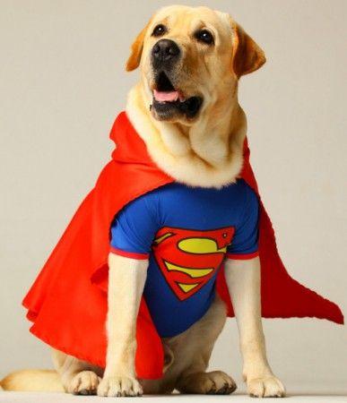 Cachorro fantasiado de superman