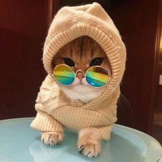 Gato marfim, com um coberto bege e um óculos espelhado
