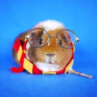 hamster fantasiado de harry potter