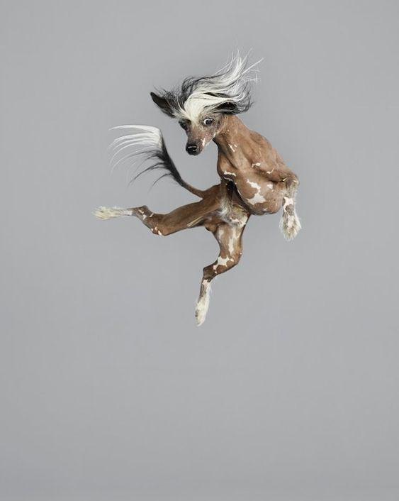 Cachorro pulando no fundo cinza