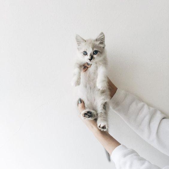 Gato sendo erguido no fundo cinza