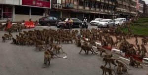 Centenas de macacos brigam nas ruas da Tailândia