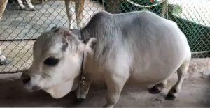Com apenas 2 anos, menor vaca do mundo morre em Bangladesh