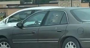Vaca é levada em carro para drive-thru do McDonalds