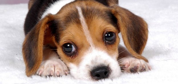 entenda-o-que-significam-os-sons-e-linguagens-corporais-dos-cachorros